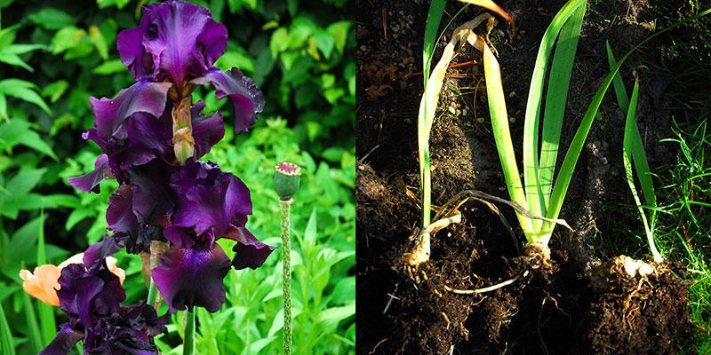 Delning av perenn iris med delning