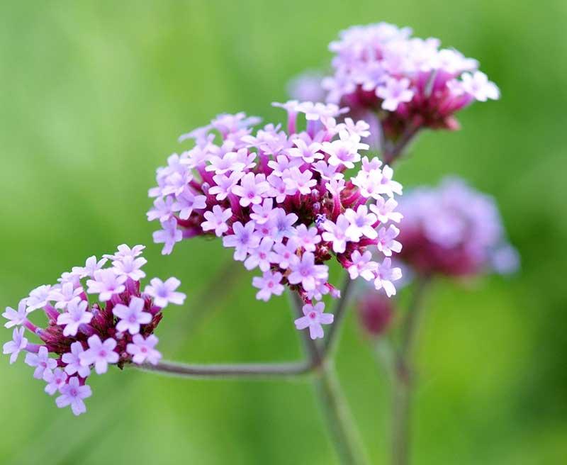 Närbild blommor av jätteverbena