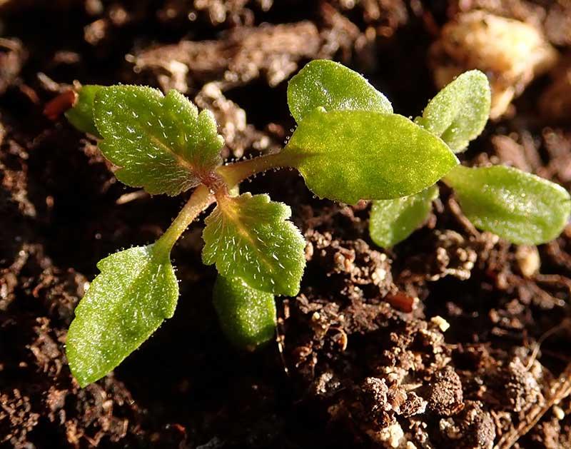 Groddplanta av jätteverbena