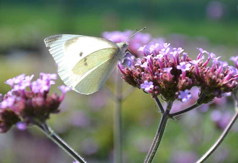 JÄtteverbena med pollinerande fjäril