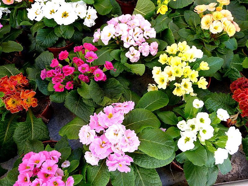 Jordvivor i kruka med olika färger på blommorna