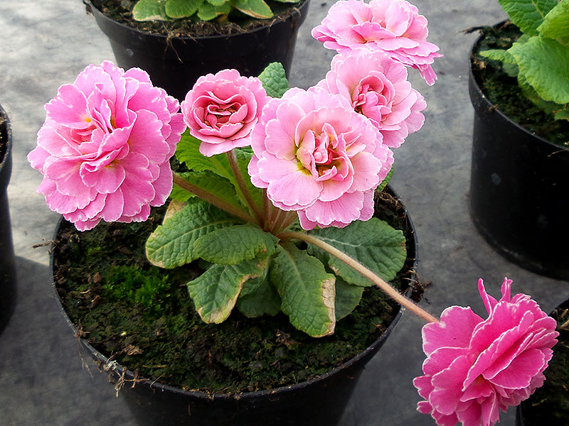 Jordviva med dubbla rosa blommor i kruka