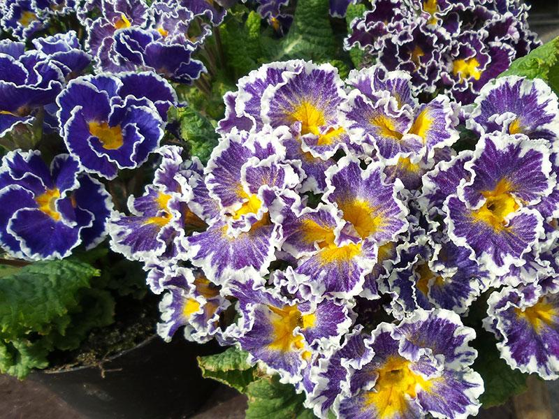 Jordviva med blålila blommor med vita kanter