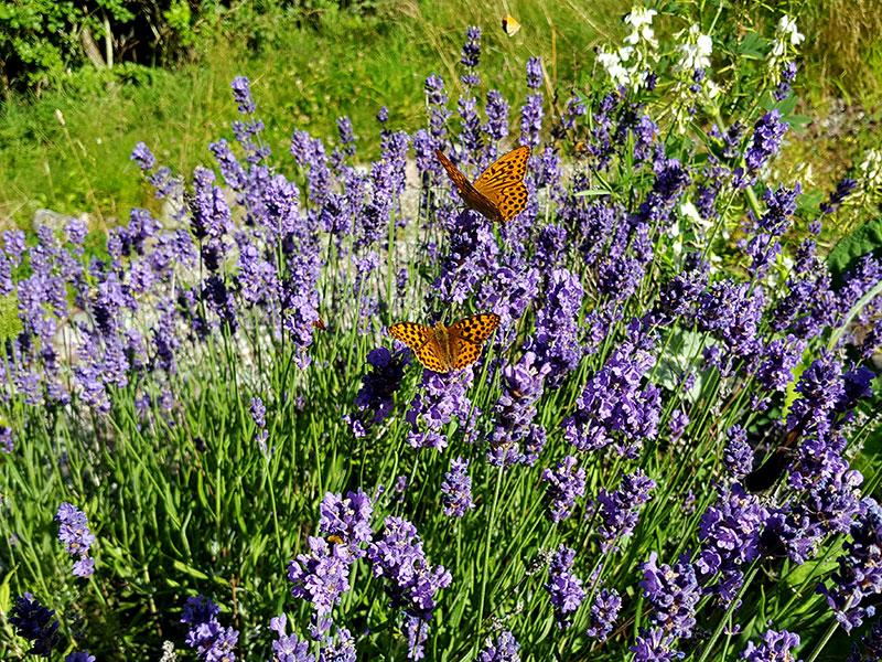 Lavendel fylld med fjärilar och andra pollinerare