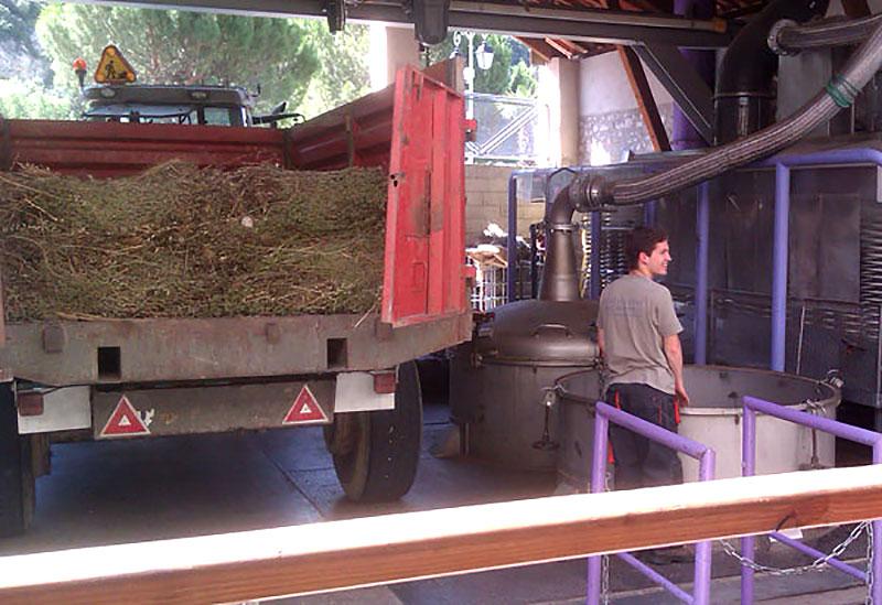 Skördad lavendel på väg in i ett lavendeldistilleri
