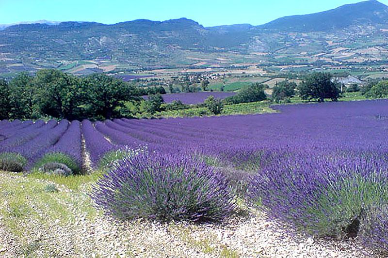 Lavendelodlingar i Provence