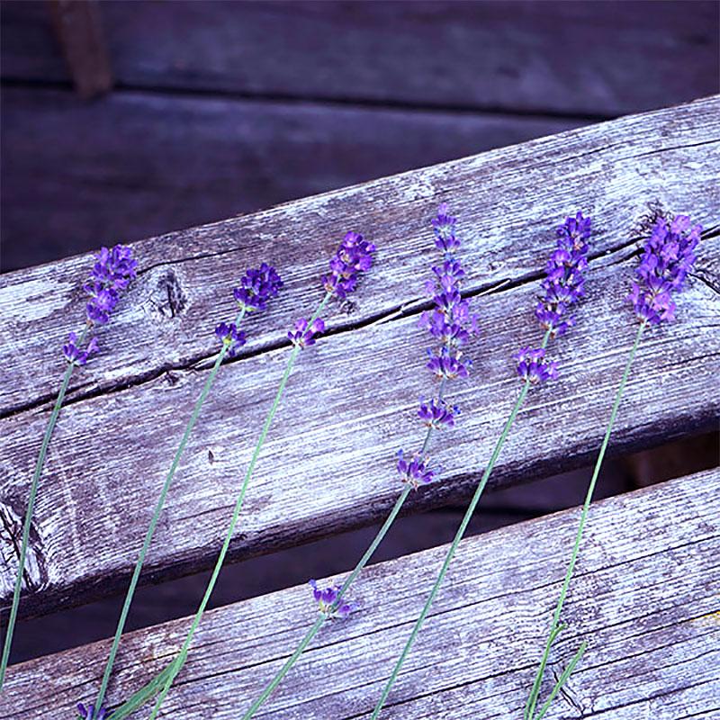 Olika sorters blå lavendelblommor