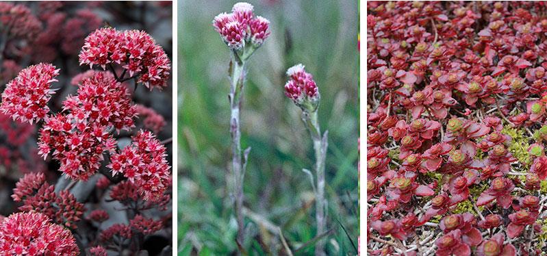 Sedum kärleksört kattfot Antennaria Kaukasiskt fetblad