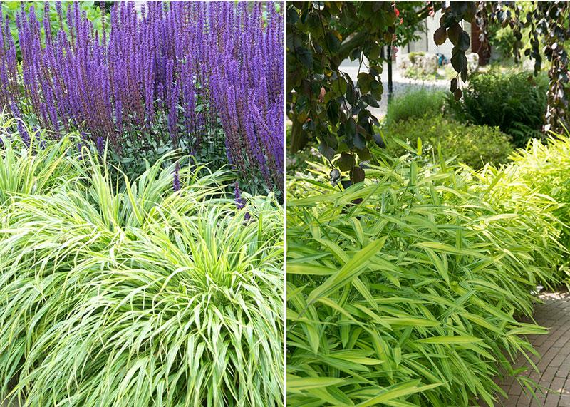 Hakongras stappsaliva och kämpestarr Carex