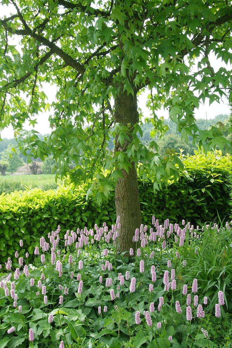 Ormrot Polygonum under träd marktäckande perenn