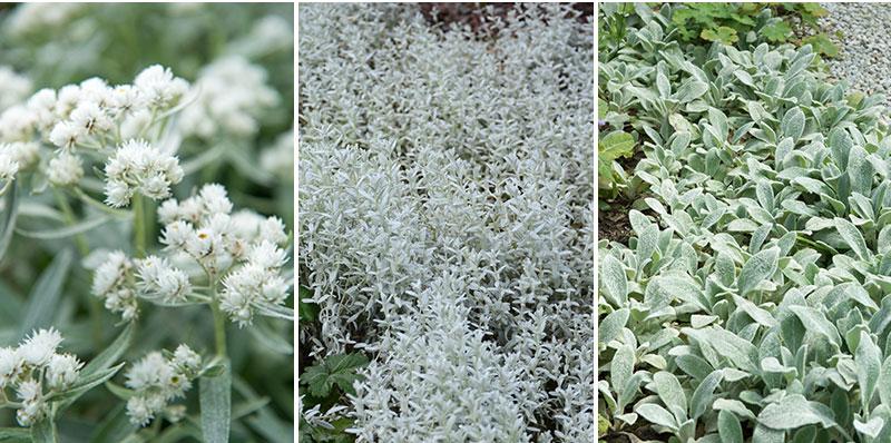 ulleternell anaphalis silverarv Cerastium lammöra stachys marktäckande perenner