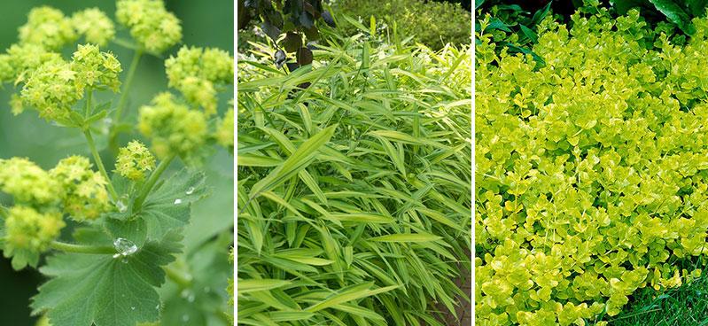 Daggkapa Alchemilla kinesisk kämpestarr Carex och citrontimjan