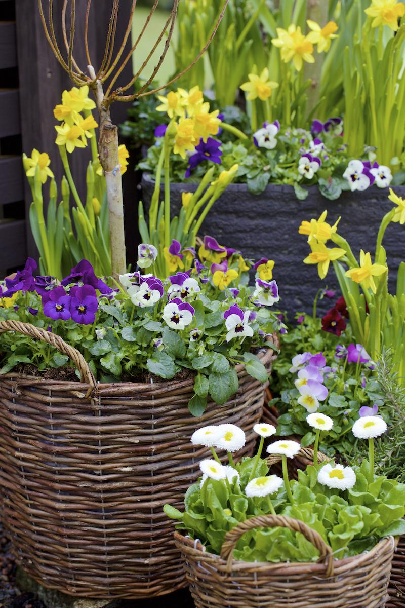 Vårblommande växter i korgar utomhus