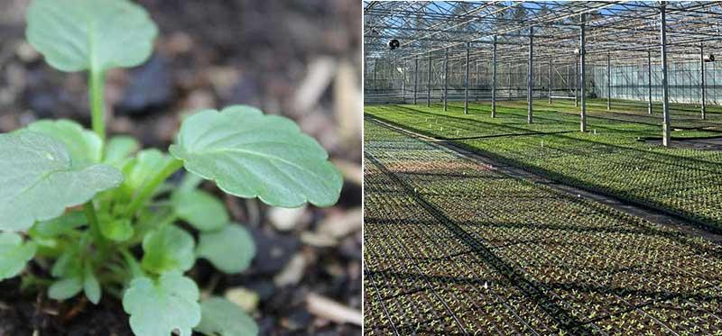 Fröplanta pensé i yrkesodling i växthus