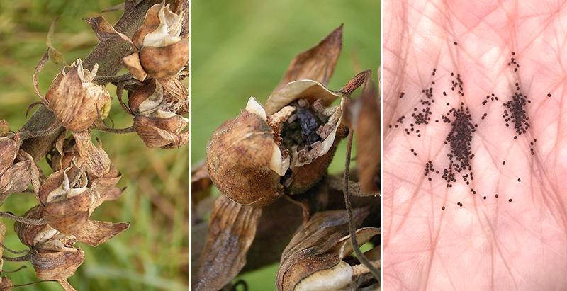 Insamling av frön av fingerborgsblomma