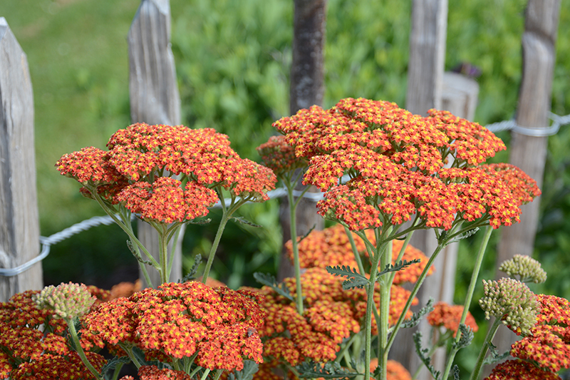 Orange röllika i trädgården