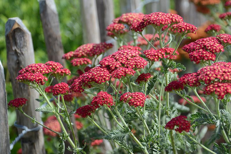 Röd röllika i trädgårdsrabatt