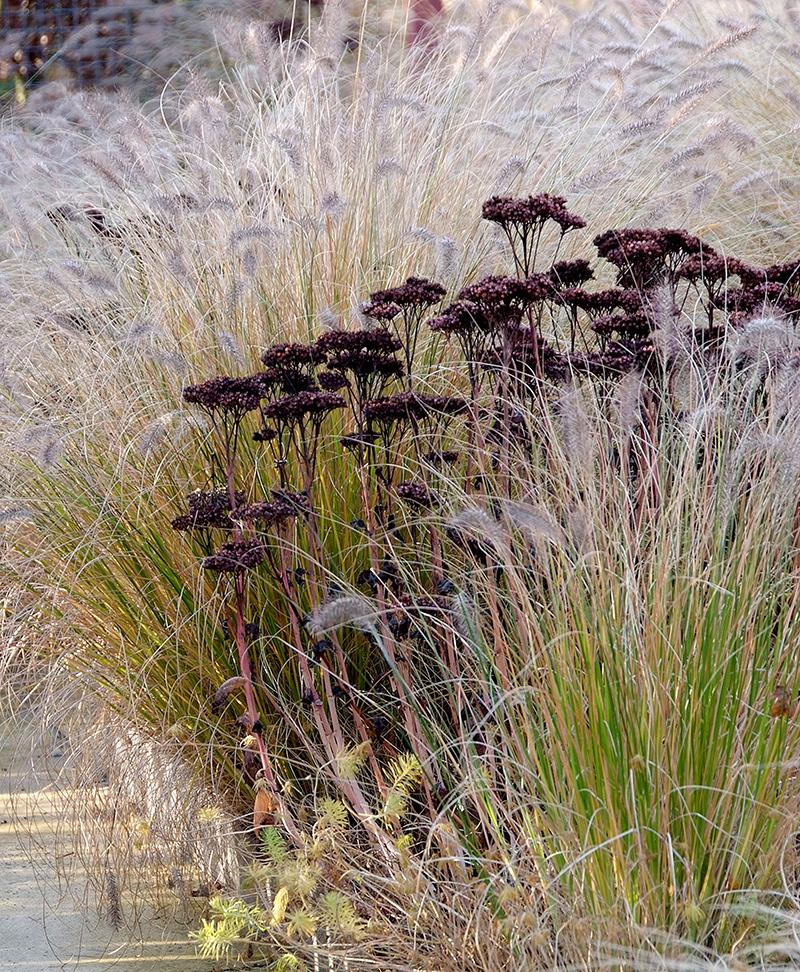 Röllika och prydnadsgräs på vintern