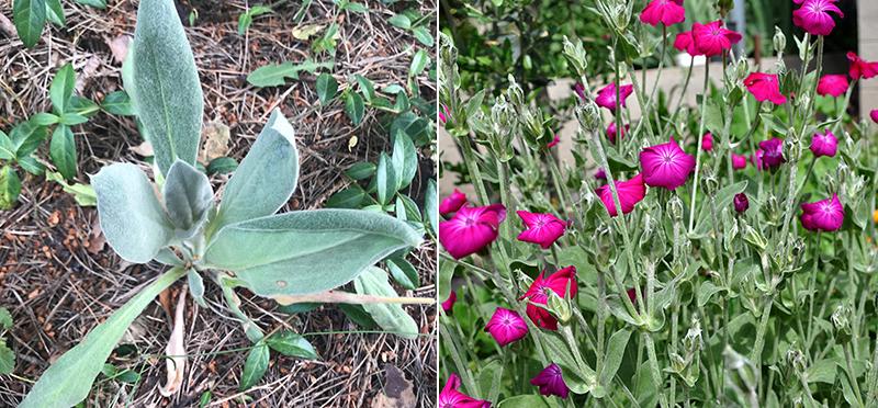Bladrosett och blomma av bienn purpurklätt