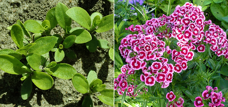 Bladrosett och blomma av borstnejlika