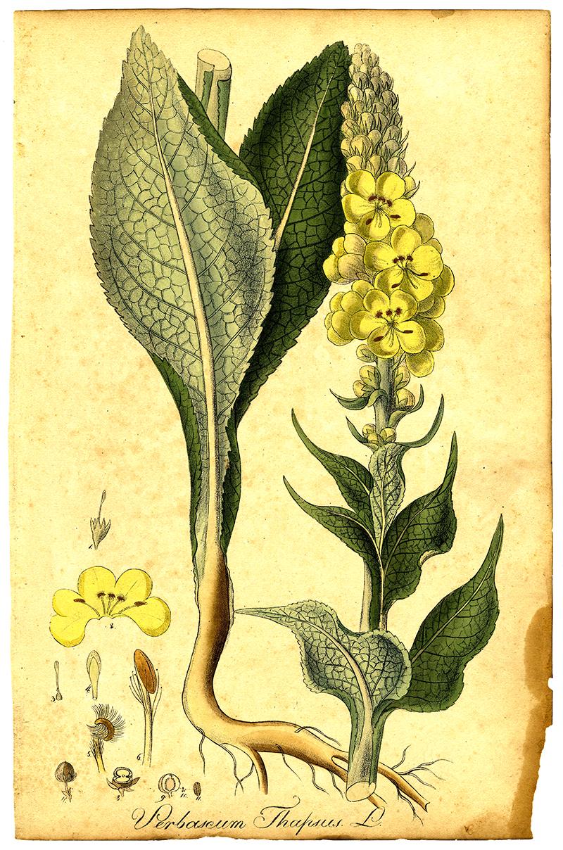 Botanisk plansch med kungsljus