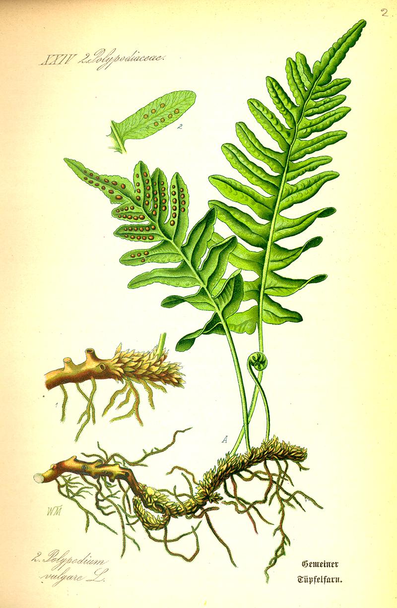 Botanisk teckning av ormbunken stensöta