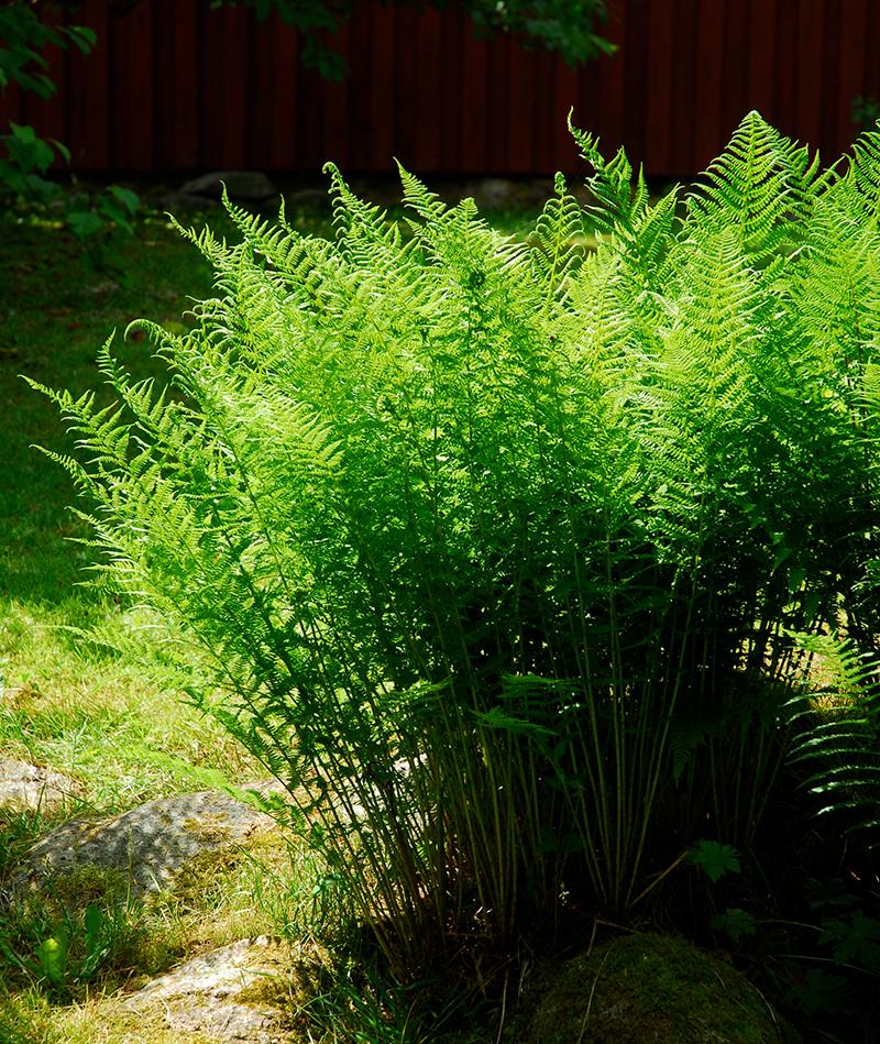 Träjon på torr plats i trädgården