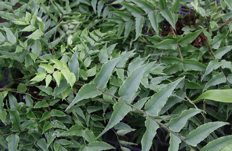 Japanskt mahoniabräken i trädgård