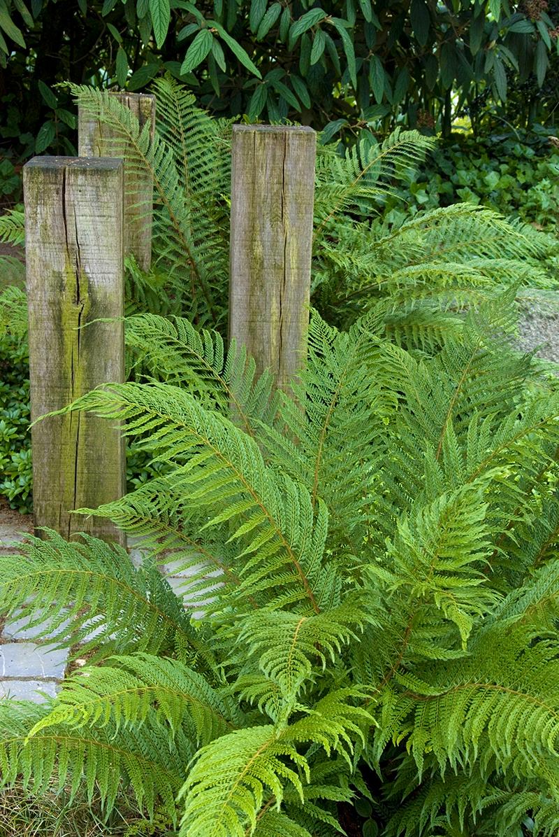Ormbunke spetsbräken i trädgården