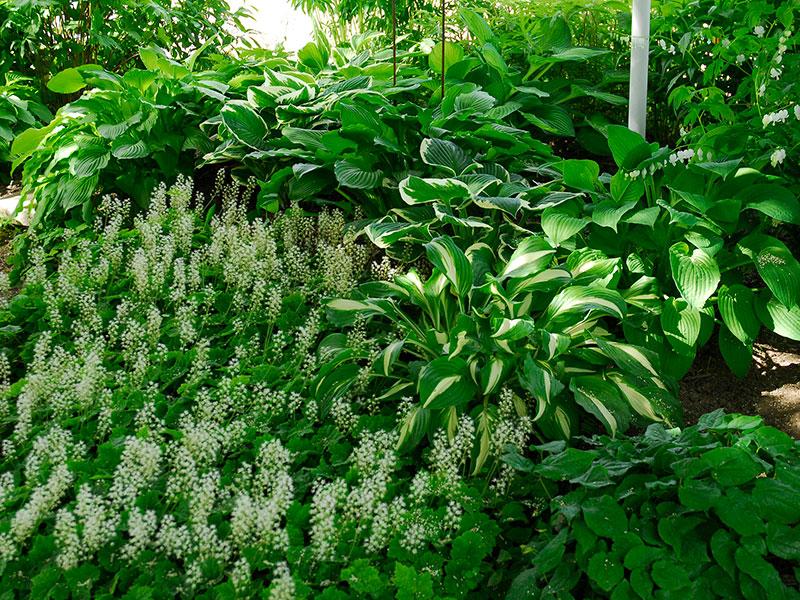 Rabbatt i skugga med vita blommor
