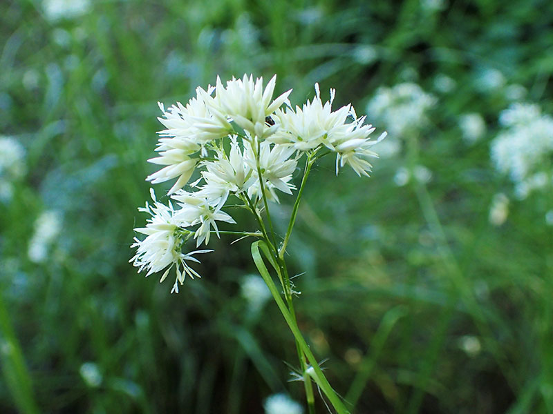 Silverfryle perenn prydnadsgräs i skugga