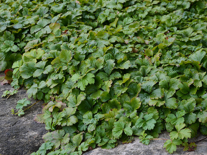 waldsteinia perenn i skugga