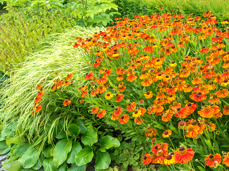 Lättskötta perenner solbrud, hakonegräs, bergenia