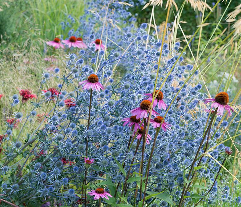 solhatt och alpmartorn i lättskött rabatt med lång blomning