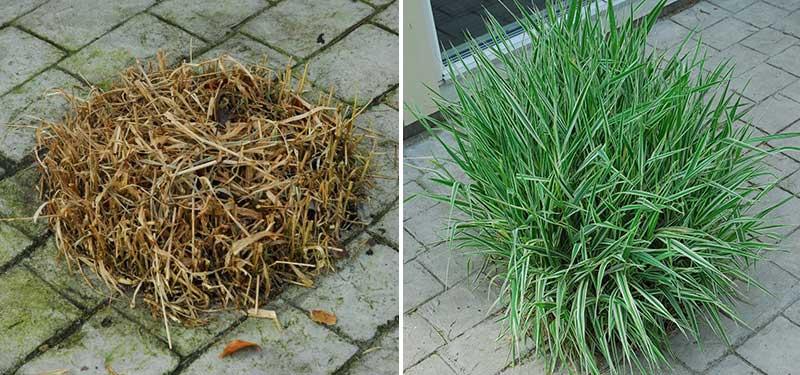 Beskärning av prydnadsgräs på våren