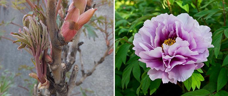 Skott och blomma av buskpion