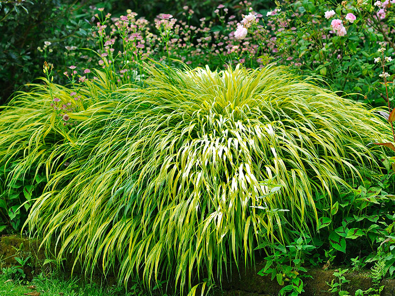 Hakonegräs i trädgård