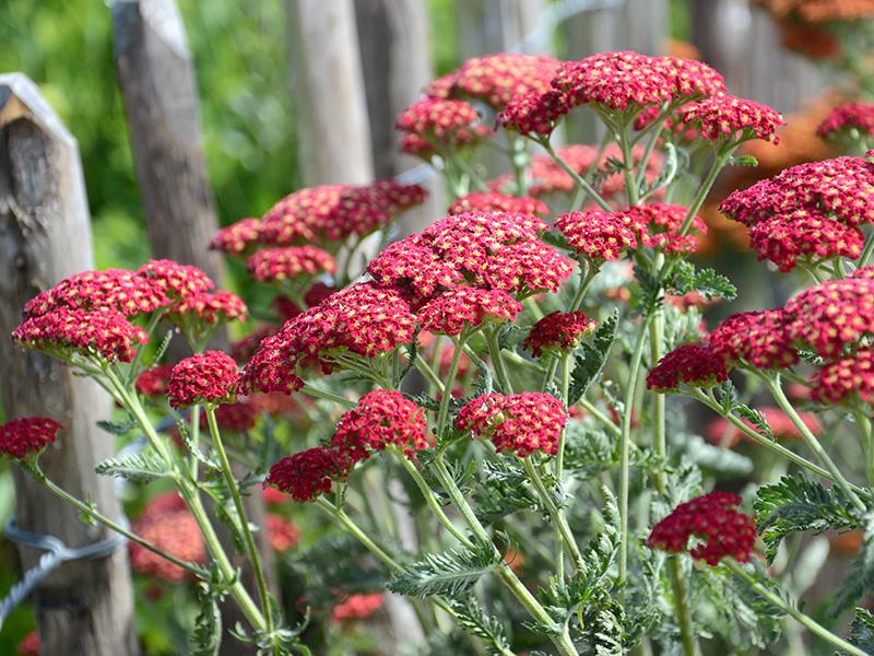 Perenn röd röllika i trädgård