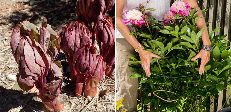 Pionskott och pionstöd för blommor