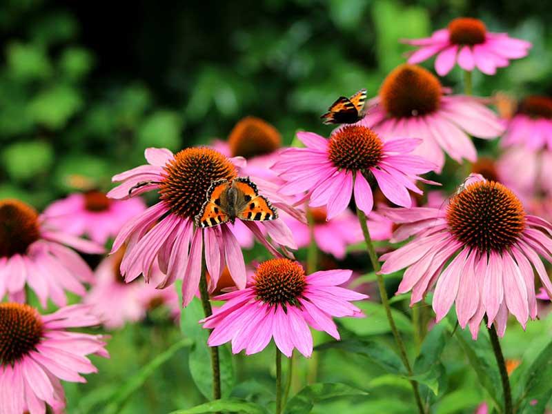 Röd solhatt med fjärilar i perenn plantering