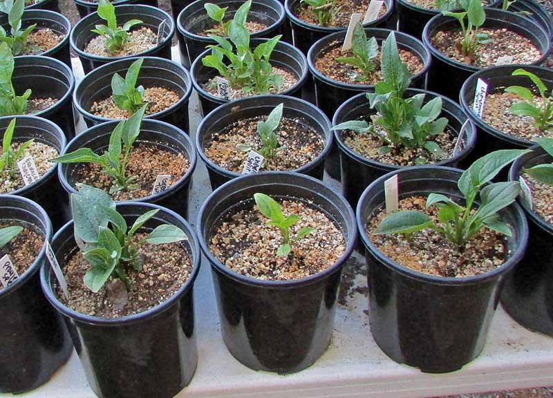 Småplantor av frösådda perenner