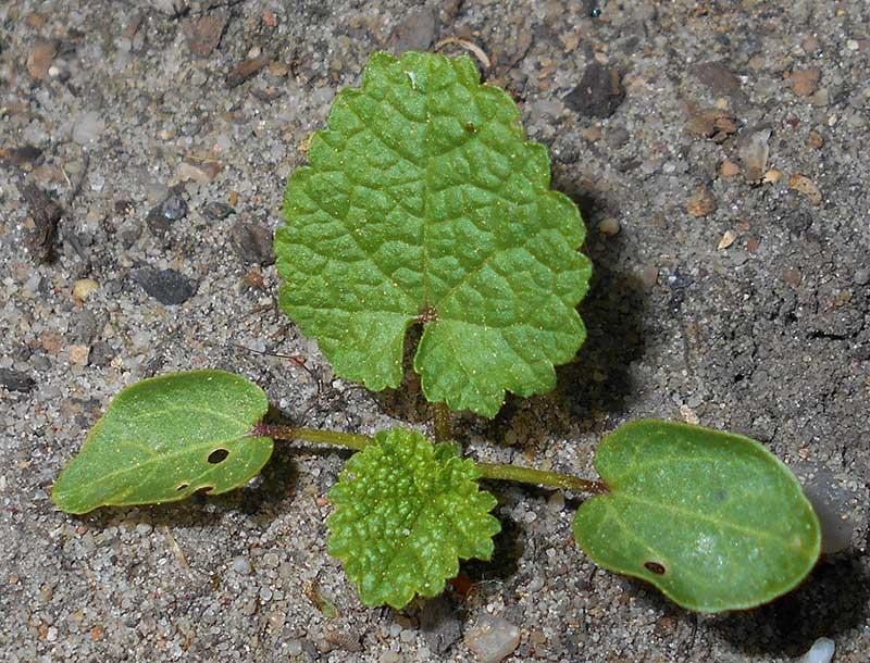 ettårsplanta med bladrosett av stockros