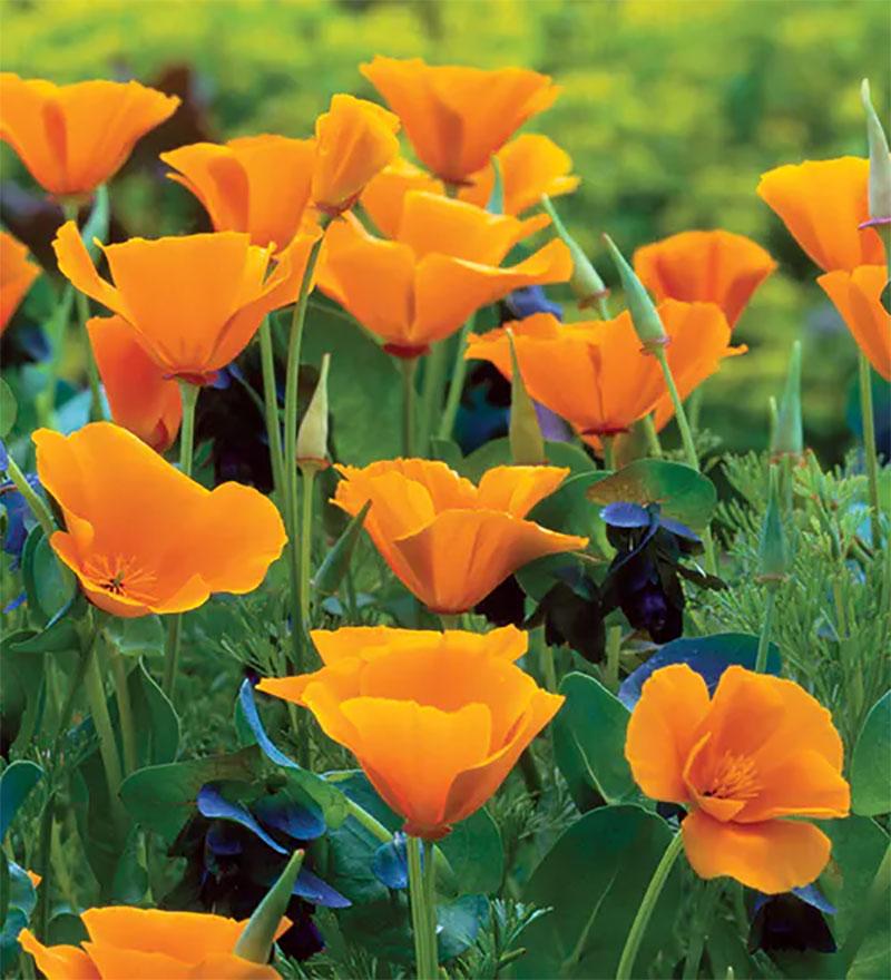 Kalifornisk vallmo, Eschscholzia californica