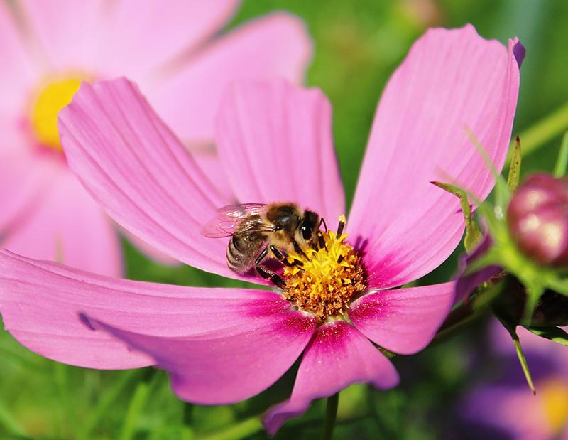 Rosenskära som pollenlämnare i naturträdgård