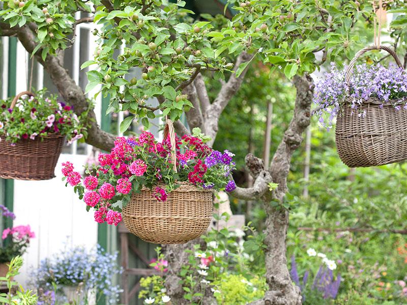 Sommarblommor i korgar i fruktträd pelargon petunia och lobelia