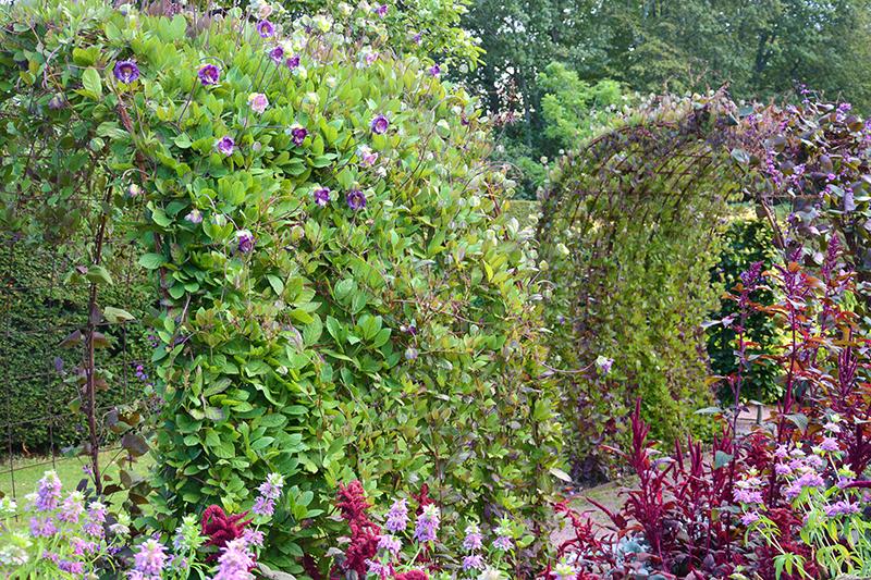 Klockranka och purpurböna som klätterväxter i valv