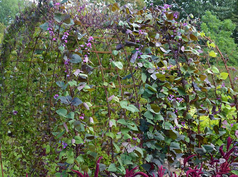 Purpurböna som klätterväxt