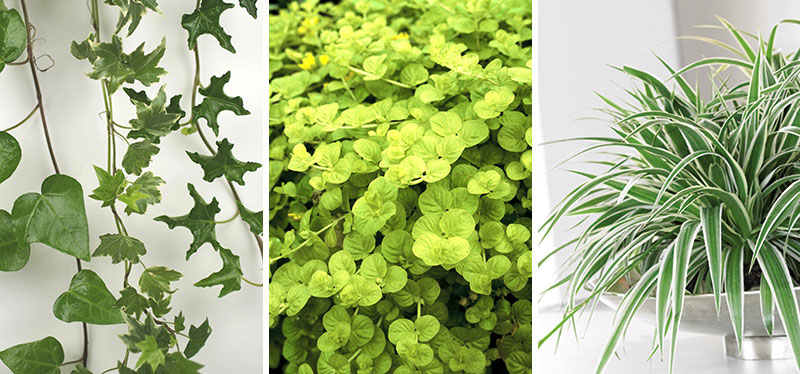 gröna växter för ampel murgröna, penningblad och ampellilja