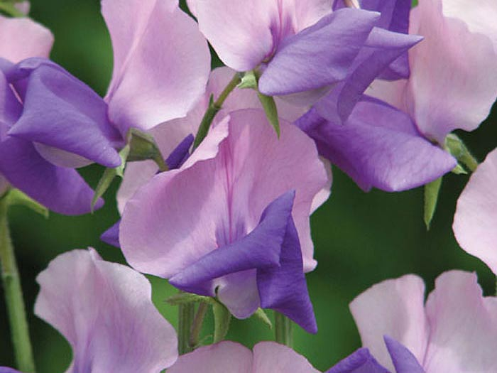 Blommor till lavendelfärgad luktärt Erewhon