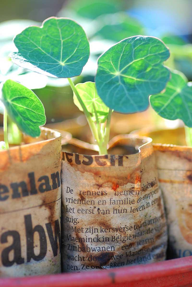 Fröplanta av indiankrasse i tidningskruka